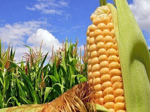 Огурцы и кукуруза помогают друг другу! Два урожая с одной грядки.