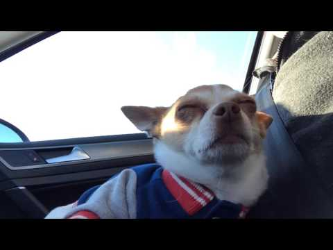 Chihuahua dog sings with Adele