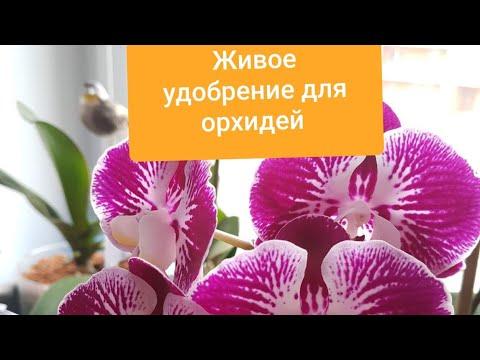 ЖИВОЕ УДОБРЕНИЕ для орхидей 😍. Этот СПОСОБ облегчит Вам уход с ОРХИДЕЯМИ 😉.