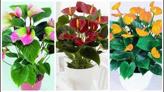 Como Adubar Os Antúrios E Outras Plantas Sem Gastar