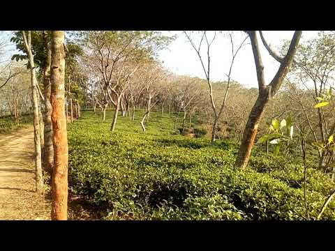Chittagong tea garden