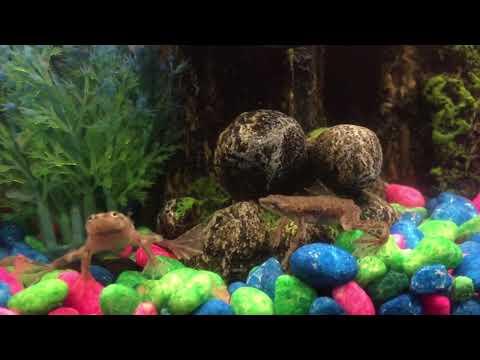 African Dwarf Frogs singing.