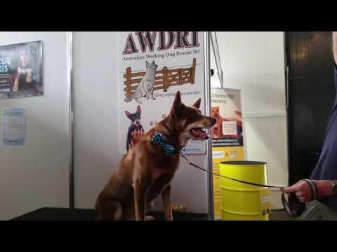 Sydney Dog Lovers Show:  An AUSTRALIAN KELPIE (Sunday 07/08/16)
