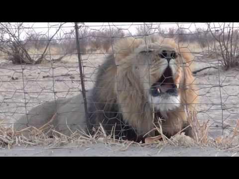 Big Lion Roaring