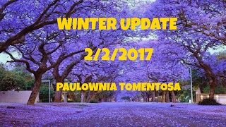⟹ EMPRESS TREE - Paulownia Tomentosa ⚜ Fastest growing tree, WINTER UPDATE 2/2/2017