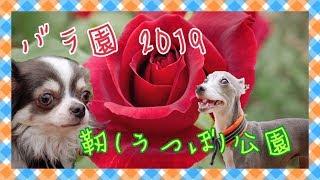 2019年5月16日。 大阪市西区にある『靭(うつぼ)公園』のバラ園をお散...