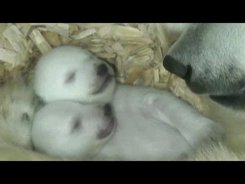 Primeras imágenes de dos cachorros gemelos de oso polar BBC MUNDO