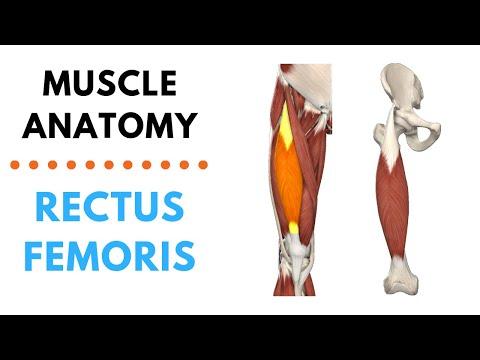 Rectus Femoris   Muscle Anatomy   Joetherapy