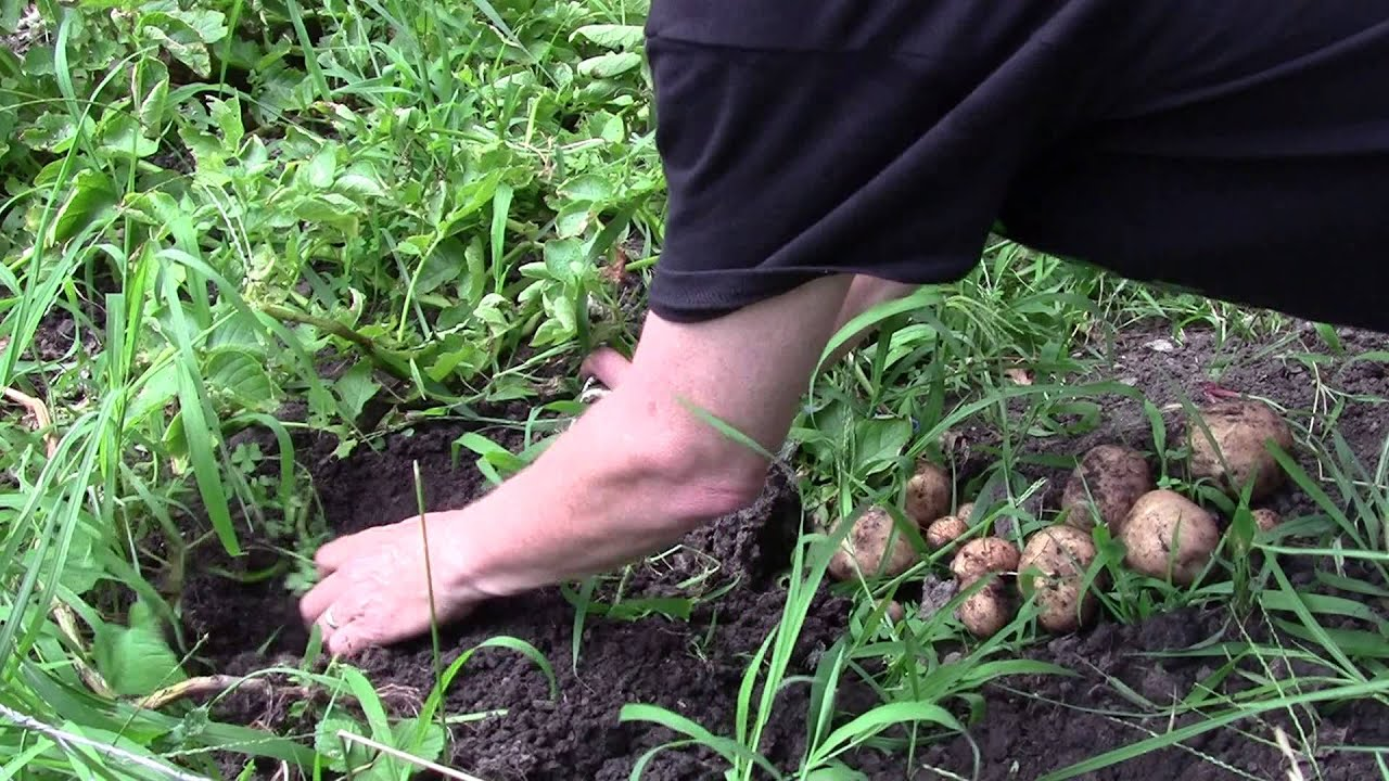 digging potatoes in my backyard vegetable garden youtube
