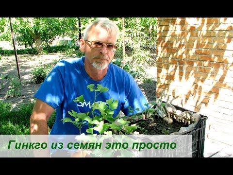 Как вырастить гинкго билоба в домашних условиях из семян