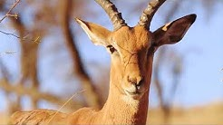 Antelope - Impala - Africa's Wild Wonders - The Secrets of Nature