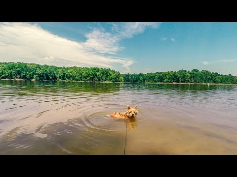 Norfolk Terrier Swimming In Falls Lake