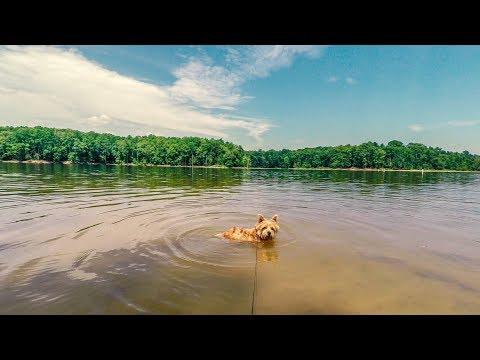 Norfolk Terrier Swimming In Falls Lake
