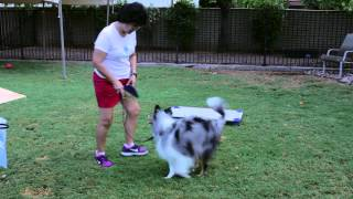 How To Train A Sheltie : Dog Training That Works