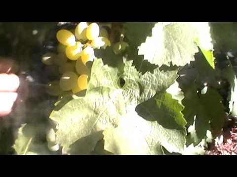 Сорт винограда Вера - сезон 2015