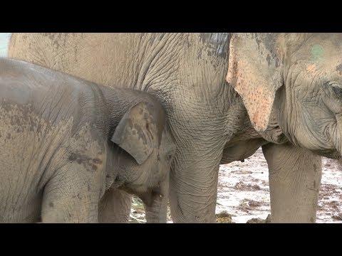 Orphaned Baby Elephant : Dok Geaw's Story