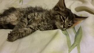 Кошачья чумка_Болезни кошек