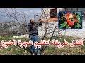 تقليم شجرة الخوخ | Peach tree pruning
