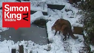 Repeat youtube video Foxes Mating - Very Rare Footage! - Fascinating Behaviour