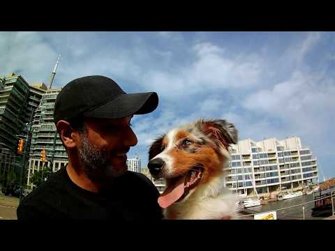 Part 1 - Australian Shepherd with Puppy Problems – Overexcited, Jumping, Pulling, Barking, Whining