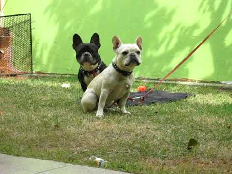 French Bulldog speaking! (please read NOTE before posting, thanks!)