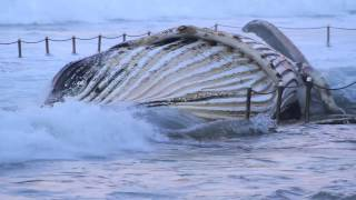 Huge Humpback Whale Washes Up In Newport Beach Ocean Pool, Sydney, NSW