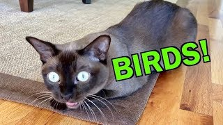 Burmese Cats Chattering and Talking about Birds! Cute & Funny!