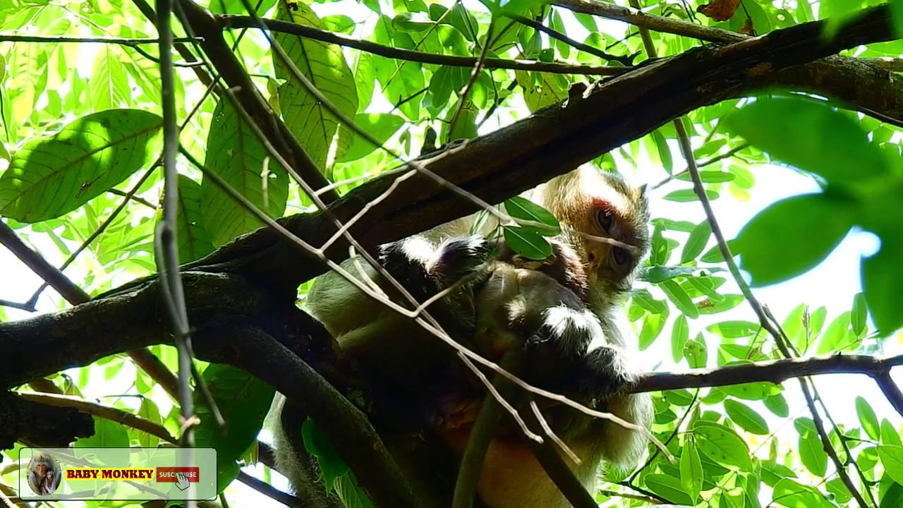 sweet lola baby monkey & layla still hiding her baby on the high tree By : #Monkey Movie