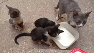 Hungry kitten with mom and black cat does not want food