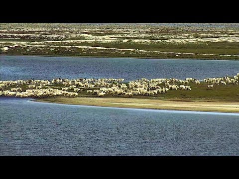 Caribou migration passes Cape North cam. 02 July 2017