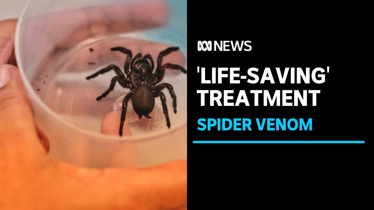 Deadly venom from funnel-web spider could contain life-saving heart attack treatment   ABC News - ABC News (Australia)
