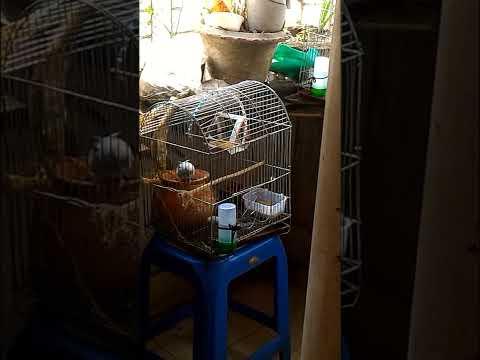 Albino Love Birds Making Love - my pet albino birds meting in cage very funny