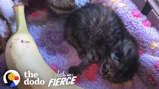 watch-a-3-day-old-kitten-grow-up-so-big-and-cute-the-dodo-little-but-fierce