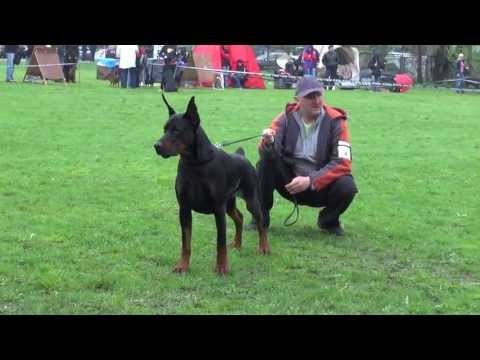 Dobermann Star 2013 - males