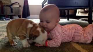 Little Bulldog kissing a baby