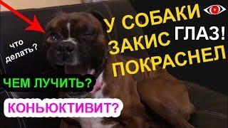 Покраснел, закис глаз 👁 у собаки: чем лечить, что делать?