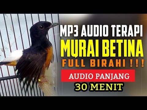 Suara Burung Murai Betina Birahi MP3 Full Audio Terapi