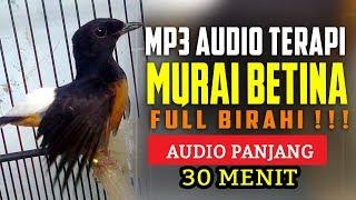 Download lagu Suara Burung Murai Betina Birahi MP3 Full Audio Terapi MP3