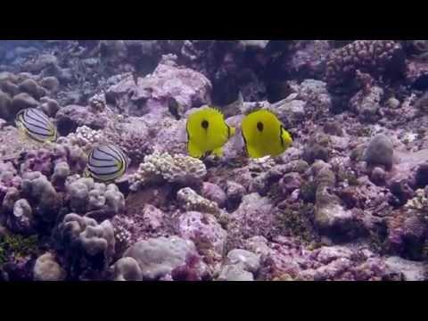 Yellow Teardrop Butterflyfish (Chaetodon Interruptus)