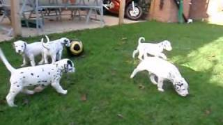 Dalmatian Puppies And Mini Jack Russel Playing No.2