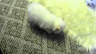 Super floppy 3.5 week old Ragdoll kittens