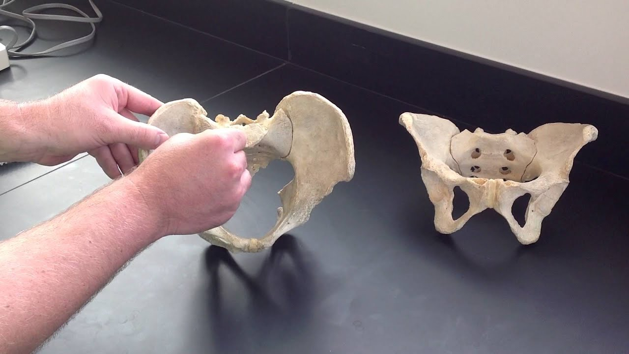 Male vs Female Pelvis - YouTube