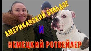 РОТВЕЙЛЕР и АМБУЛЬ. ВЕЧНАЯ ВРАЖДА ИЛИ НОРМАЛЬНОЕ СОСУЩЕСТВОВАНИЕ дрессировка и воспитание собак