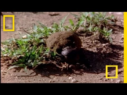 African Dung Beetle | National Geographic