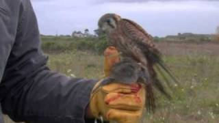 2010 Falconry with American Kestrel Hunting (Day 1)