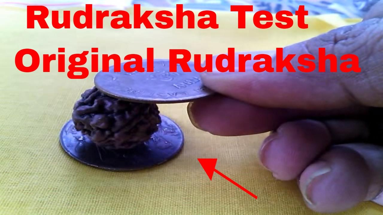 quothow to check original rudrakshaquot quotoriginal rudraksha