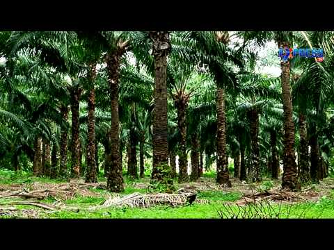 Palm oil farmers face perfect storm due to prices downfall - Express TV