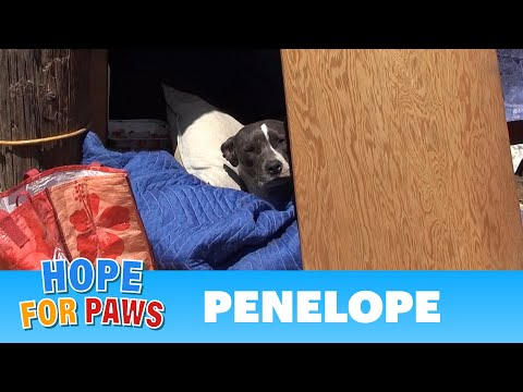 Penelope: a sick, injured Pit Bull gets rescued and is now looking for a home.