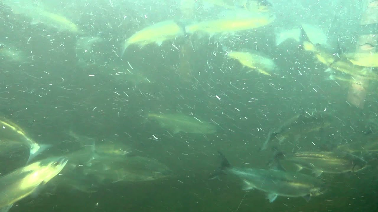 Sockeye salmon ballard locks fish ladder youtube for Ballard locks fish ladder