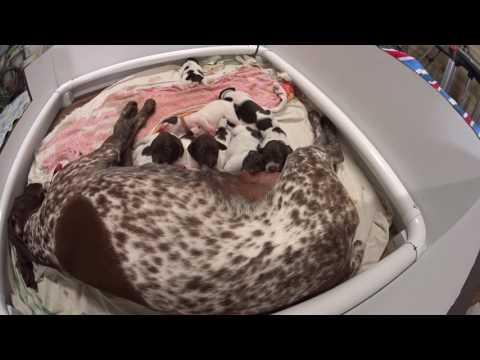 German Shorthaired Pointer Puppies at 1 week